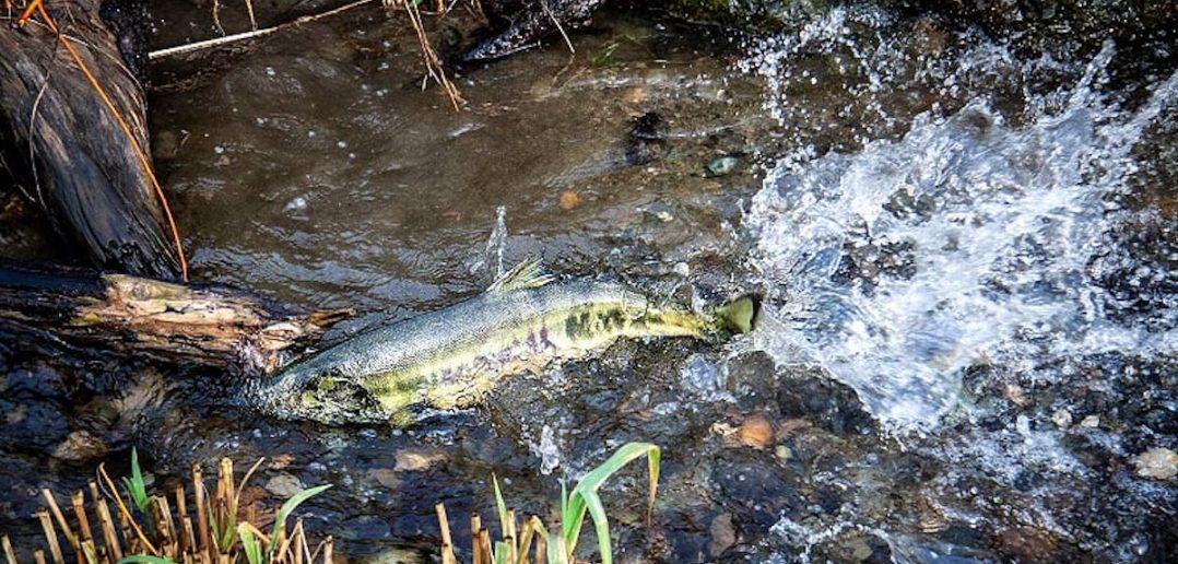 salmon swimming in river