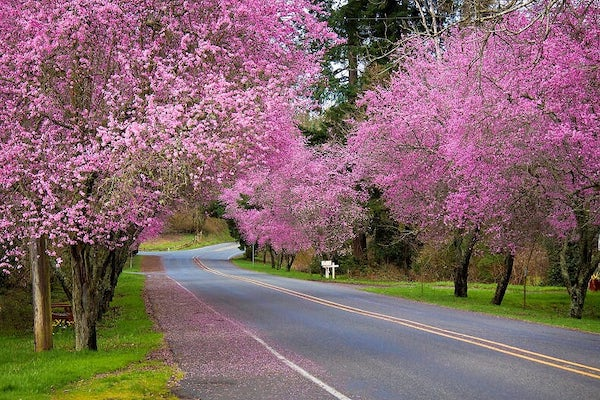 Pink blossomed plum trees line a country road