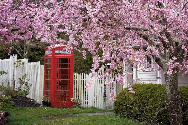 British phone box framed by full pink cherry blossoms