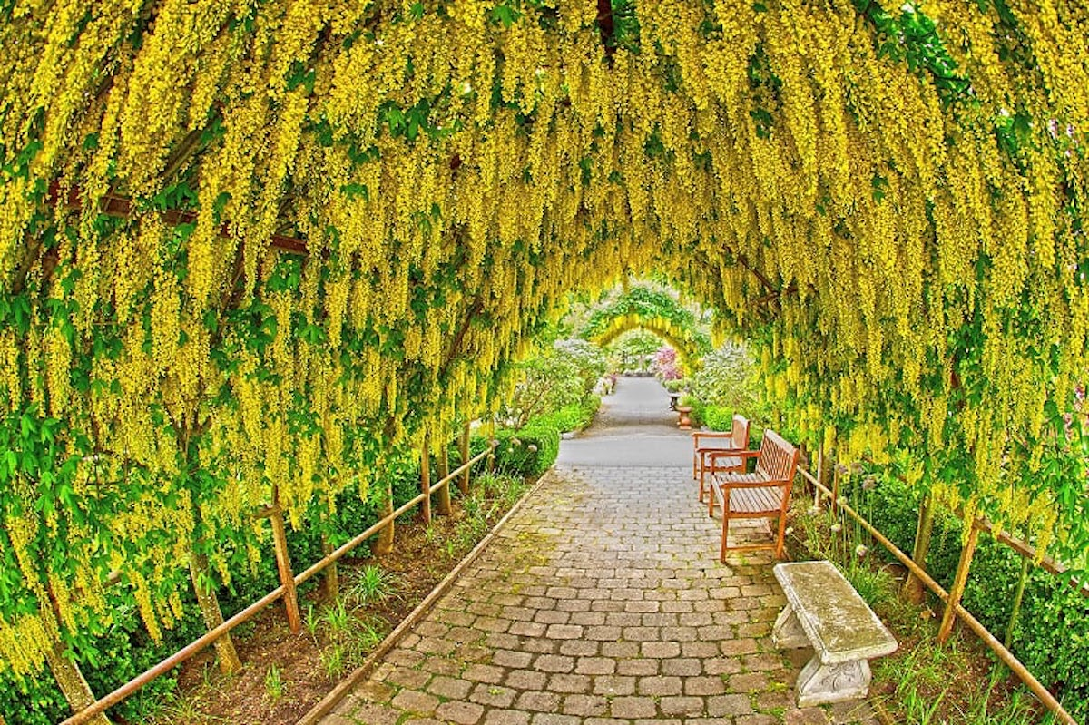 Yellow flowers hang in an arch