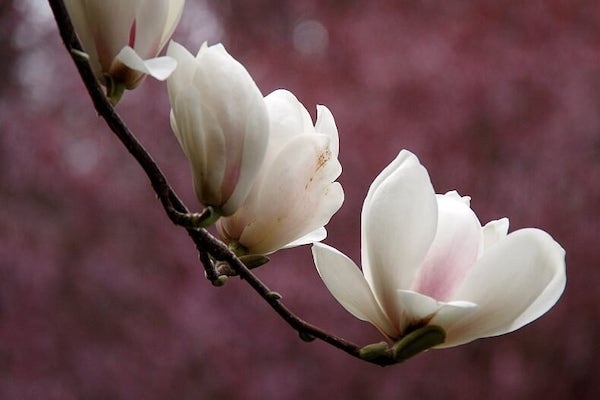 creamy pink and white blossom of magnolia tree