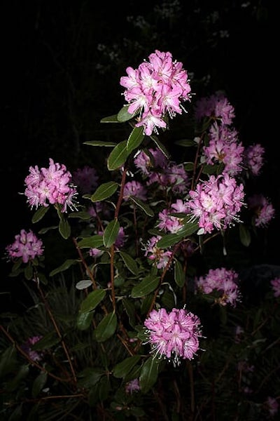 Native pink and white rhododendron